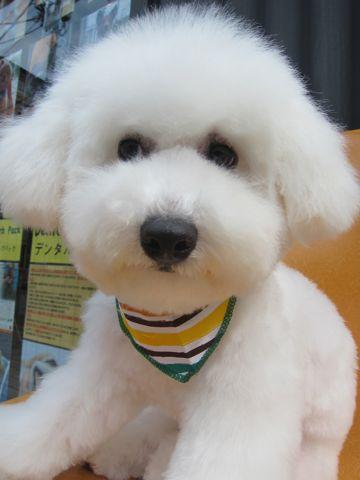 ビションフリーゼフントヒュッテ東京子犬こいぬかわいいビションフリーゼのいるお店文京区駒込ペットサロンhundehutteトリミングビションBichon Friseフランスの犬白い犬340.jpg