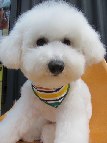 ビションフリーゼフントヒュッテ東京子犬こいぬかわいいビションフリーゼのいるお店文京区駒込ペットサロンhundehutteトリミングビションBichon Friseフランスの犬白い犬341.jpg