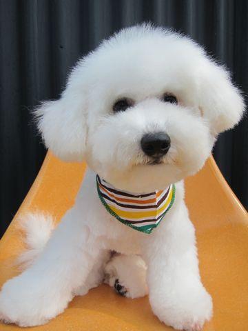 ビションフリーゼフントヒュッテ東京子犬こいぬかわいいビションフリーゼのいるお店文京区駒込ペットサロンhundehutteトリミングビションBichon Friseフランスの犬白い犬342.jpg