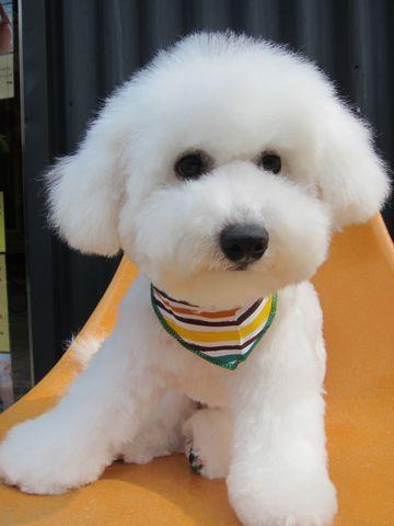 ビションフリーゼフントヒュッテ東京子犬こいぬかわいいビションフリーゼのいるお店文京区駒込ペットサロンhundehutteトリミングビションBichon Friseフランスの犬白い犬343.jpg