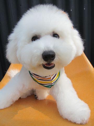 ビションフリーゼフントヒュッテ東京子犬こいぬかわいいビションフリーゼのいるお店文京区駒込ペットサロンhundehutteトリミングビションBichon Friseフランスの犬白い犬345.jpg