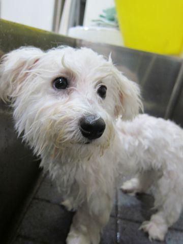 ビションフリーゼフントヒュッテ東京子犬こいぬかわいいビションフリーゼのいるお店文京区駒込ペットサロンhundehutteトリミングビションBichon Friseフランスの犬白い犬346.jpg