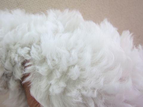 ビションフリーゼフントヒュッテ東京かわいいビション子犬関東こいぬ文京区ビションフリーゼ画像ビションフリーゼおんなのこメス子犬生まれてる都内Bichon Frise 10.jpg
