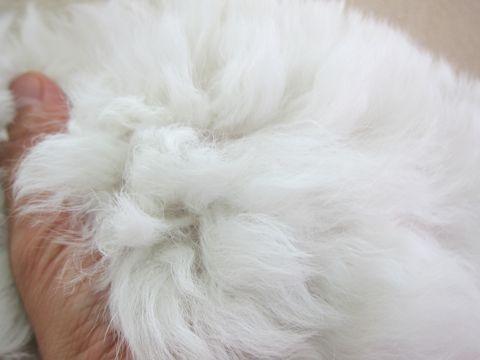 ビションフリーゼフントヒュッテ東京かわいいビション子犬関東こいぬ文京区ビションフリーゼ画像ビションフリーゼおんなのこメス子犬生まれてる都内Bichon Frise 18.jpg