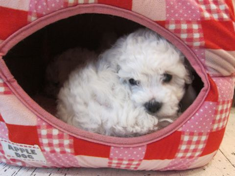 ビションフリーゼフントヒュッテ東京かわいいビション子犬関東こいぬ文京区ビションフリーゼ画像ビションフリーゼおんなのこメス子犬生まれてる都内Bichon Frise 26.jpg