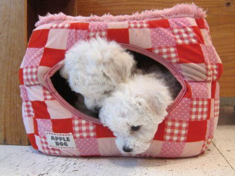ビションフリーゼフントヒュッテ東京かわいいビション子犬関東こいぬ文京区ビションフリーゼ画像ビションフリーゼおんなのこメス子犬生まれてる都内Bichon Frise 36.jpg