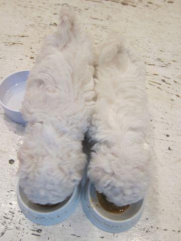 ビションフリーゼフントヒュッテ東京かわいいビション子犬関東こいぬ文京区ビションフリーゼ画像ビションフリーゼおんなのこメス子犬生まれてる都内Bichon Frise 53.jpg
