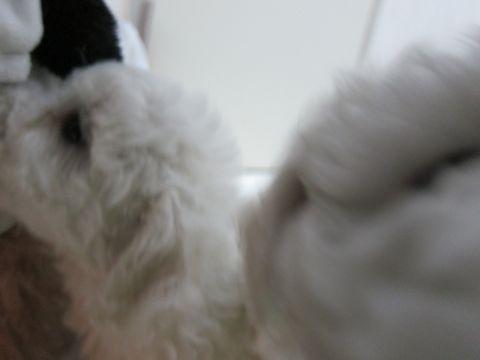 ビションフリーゼフントヒュッテ東京かわいいビション子犬関東こいぬ文京区ビションフリーゼ画像ビションフリーゼおんなのこメス子犬生まれてる都内Bichon Frise 61.jpg