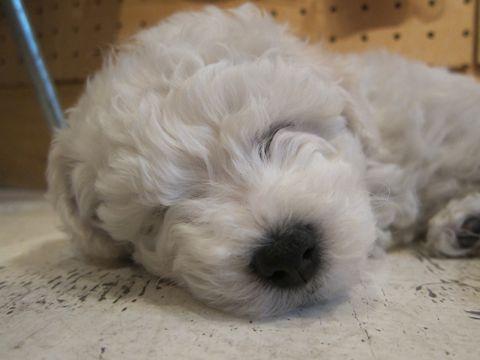 ビションフリーゼフントヒュッテ東京かわいいビション子犬関東こいぬ文京区ビションフリーゼ画像ビションフリーゼおんなのこメス子犬生まれてる都内Bichon Frise 64.jpg