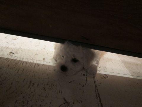 ビションフリーゼフントヒュッテ東京かわいいビション子犬関東こいぬ文京区ビションフリーゼ画像ビションフリーゼおんなのこメス子犬生まれてる都内Bichon Frise 79.jpg