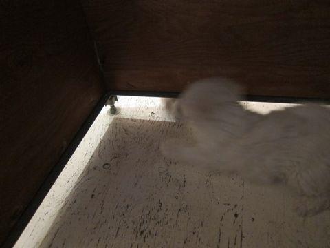 ビションフリーゼフントヒュッテ東京かわいいビション子犬関東こいぬ文京区ビションフリーゼ画像ビションフリーゼおんなのこメス子犬生まれてる都内Bichon Frise 80.jpg