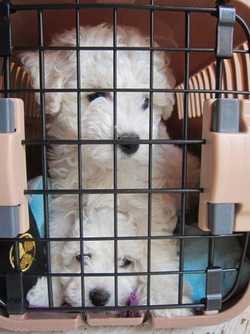 ビションフリーゼフントヒュッテ東京かわいいビション子犬関東こいぬ文京区ビションフリーゼ画像ビションフリーゼおんなのこメス子犬生まれてる都内Bichon Frise 87.jpg