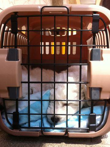 ビションフリーゼフントヒュッテ東京かわいいビション子犬関東こいぬ文京区ビションフリーゼ画像ビションフリーゼおんなのこメス子犬生まれてる都内Bichon Frise 90.jpg
