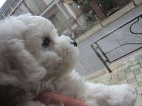 ビションフリーゼフントヒュッテ東京かわいいビション子犬関東こいぬ文京区ビションフリーゼ画像ビションフリーゼおんなのこメス子犬生まれてる都内Bichon Frise 104.jpg