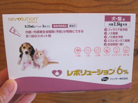 ビションフリーゼフントヒュッテ東京かわいいビション子犬関東こいぬ文京区ビションフリーゼ画像ビションフリーゼおんなのこメス子犬生まれてる都内Bichon Frise 115.jpg