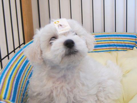 ビションフリーゼフントヒュッテ東京かわいいビション子犬関東こいぬ文京区ビションフリーゼ画像ビションフリーゼおんなのこメス子犬生まれてる都内Bichon Frise 124.jpg