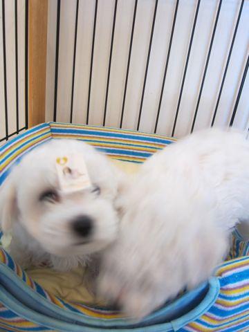 ビションフリーゼフントヒュッテ東京かわいいビション子犬関東こいぬ文京区ビションフリーゼ画像ビションフリーゼおんなのこメス子犬生まれてる都内Bichon Frise 125.jpg