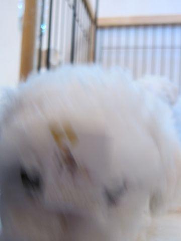 ビションフリーゼフントヒュッテ東京かわいいビション子犬関東こいぬ文京区ビションフリーゼ画像ビションフリーゼおんなのこメス子犬生まれてる都内Bichon Frise 127.jpg