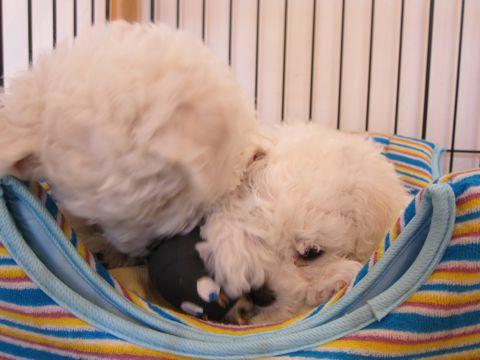 ビションフリーゼフントヒュッテ東京かわいいビション子犬関東こいぬ文京区ビションフリーゼ画像ビションフリーゼおんなのこメス子犬生まれてる都内Bichon Frise 129.jpg