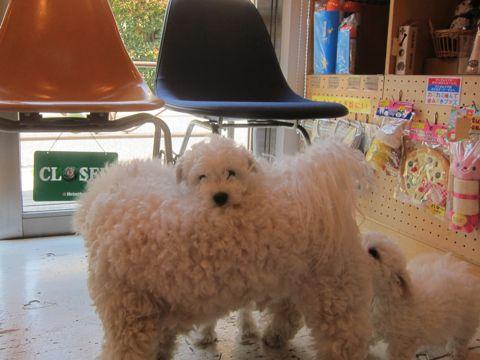 ビションフリーゼフントヒュッテ東京かわいいビション子犬関東こいぬ文京区ビションフリーゼ画像ビションフリーゼおんなのこメス子犬生まれてる都内Bichon Frise 134.jpg