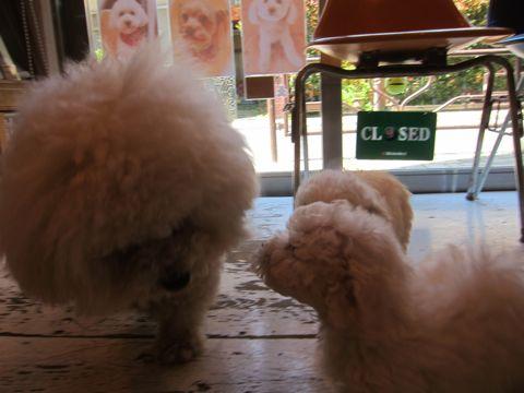 ビションフリーゼフントヒュッテ東京かわいいビション子犬関東こいぬ文京区ビションフリーゼ画像ビションフリーゼおんなのこメス子犬生まれてる都内Bichon Frise 137.jpg