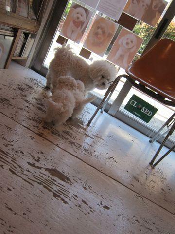 ビションフリーゼフントヒュッテ東京かわいいビション子犬関東こいぬ文京区ビションフリーゼ画像ビションフリーゼおんなのこメス子犬生まれてる都内Bichon Frise 141.jpg