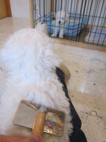 ビションフリーゼフントヒュッテ東京かわいいビション子犬関東こいぬ文京区ビションフリーゼ画像ビションフリーゼおんなのこメス子犬生まれてる都内Bichon Frise 148.jpg
