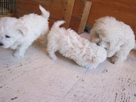 ビションフリーゼフントヒュッテ東京かわいいビション子犬関東こいぬ文京区ビションフリーゼ画像ビションフリーゼおんなのこメス子犬生まれてる都内Bichon Frise 162.jpg