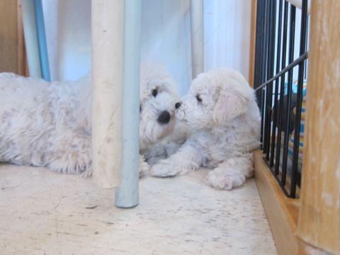 ビションフリーゼフントヒュッテ東京かわいいビション子犬関東こいぬ文京区ビションフリーゼ画像ビションフリーゼおんなのこメス子犬生まれてる都内Bichon Frise 169.jpg