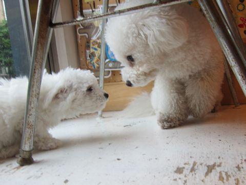 ビションフリーゼフントヒュッテ東京かわいいビション子犬関東こいぬ文京区ビションフリーゼ画像ビションフリーゼおんなのこメス子犬生まれてる都内Bichon Frise 176.jpg