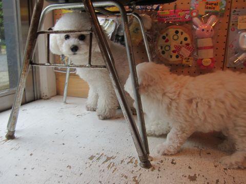 ビションフリーゼフントヒュッテ東京かわいいビション子犬関東こいぬ文京区ビションフリーゼ画像ビションフリーゼおんなのこメス子犬生まれてる都内Bichon Frise 178.jpg