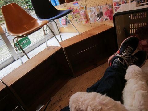 ビションフリーゼフントヒュッテ東京かわいいビション子犬関東こいぬ文京区ビションフリーゼ画像ビションフリーゼおんなのこメス子犬生まれてる都内Bichon Frise 196.jpg