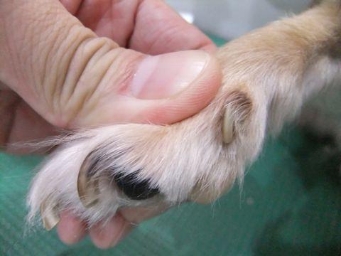 犬 病気 病 犬の爪切り 犬の爪ケア 犬 爪 つめ ツメ 放置 巻き爪 肉球にくい込む 周辺の皮膚を傷つける 出血 炎症 親指 狼爪 ろうそう 治療 動物病院 1.jpg