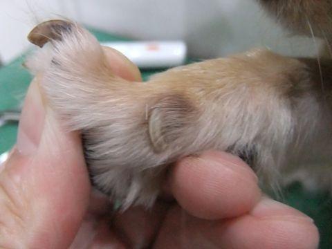 犬 病気 病 犬の爪切り 犬の爪ケア 犬 爪 つめ ツメ 放置 巻き爪 肉球にくい込む 周辺の皮膚を傷つける 出血 炎症 親指 狼爪 ろうそう 治療 動物病院 3.jpg