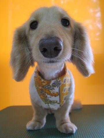 ダックスフントサマーカット文京区フントヒュッテダックストリミング東京ダックスサマーカット時期ダックスカット画像トリミングサロン都内サマーカットモデル犬4.jpg
