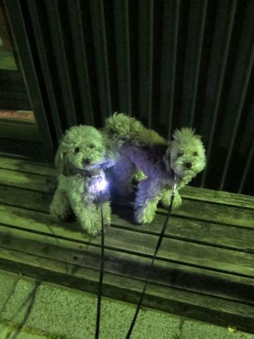 トイプードルペットホテル文京区フントヒュッテ東京トイプードルシルバー画像トイ・プードル犬おあずかり駒込ペットホテル様子都内トイプーシルバー画像1.jpg
