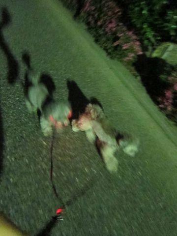 トイプードルペットホテル文京区フントヒュッテ東京トイプードルシルバー画像トイ・プードル犬おあずかり駒込ペットホテル様子都内トイプーシルバー画像4.jpg