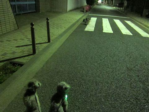 トイプードルペットホテル文京区フントヒュッテ東京トイプードルシルバー画像トイ・プードル犬おあずかり駒込ペットホテル様子都内トイプーシルバー画像5.jpg