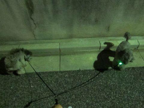 トイプードルペットホテル文京区フントヒュッテ東京トイプードルシルバー画像トイ・プードル犬おあずかり駒込ペットホテル様子都内トイプーシルバー画像7.jpg