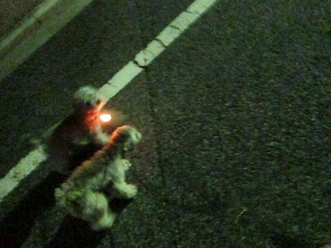 トイプードルペットホテル文京区フントヒュッテ東京トイプードルシルバー画像トイ・プードル犬おあずかり駒込ペットホテル様子都内トイプーシルバー画像8.jpg