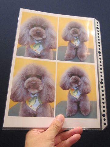 Lookbookルックブックフントヒュッテ文京区犬トリミング画像犬カットスタイル東京トリミングサロン都内ビションフリーゼカット画像トイプードルカットモデル関東3.jpg
