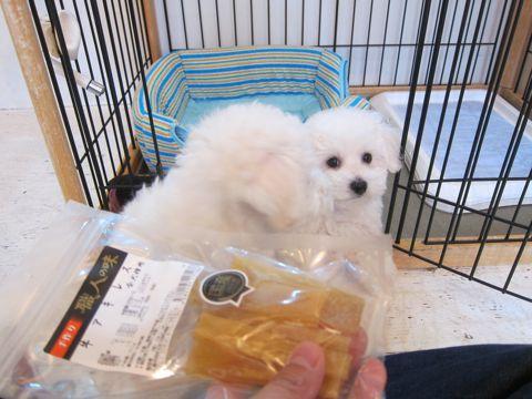 ビションフリーゼフントヒュッテ東京かわいいビション子犬関東こいぬ文京区ビションフリーゼ画像ビションフリーゼおんなのこメス子犬生まれてる都内Bichon Frise 486.jpg