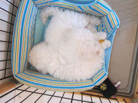 ビションフリーゼフントヒュッテ東京かわいいビション子犬関東こいぬ文京区ビションフリーゼ画像ビションフリーゼおんなのこメス子犬生まれてる都内Bichon Frise 500.jpg