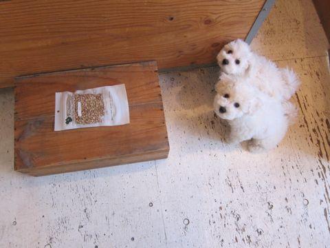 ビションフリーゼフントヒュッテ東京かわいいビション子犬関東こいぬ文京区ビションフリーゼ画像ビションフリーゼおんなのこメス子犬生まれてる都内Bichon Frise 519.jpg