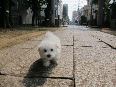 ビションフリーゼフントヒュッテ東京かわいいビション子犬関東こいぬ文京区ビションフリーゼ画像ビションフリーゼおんなのこメス子犬生まれてる都内Bichon Frise 532.jpg