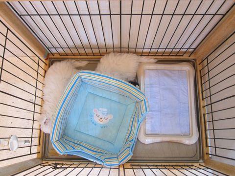 ビションフリーゼフントヒュッテ東京かわいいビション子犬関東こいぬ文京区ビションフリーゼ画像ビションフリーゼおんなのこメス子犬生まれてる都内Bichon Frise 541.jpg