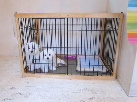 ビションフリーゼフントヒュッテ東京かわいいビション子犬関東こいぬ文京区ビションフリーゼ画像ビションフリーゼおんなのこメス子犬生まれてる都内Bichon Frise 559.jpg