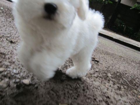 ビションフリーゼフントヒュッテ東京かわいいビション子犬関東こいぬ文京区ビションフリーゼ画像ビションフリーゼおんなのこメス子犬生まれてる都内Bichon Frise 566.jpg