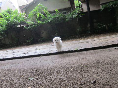 ビションフリーゼフントヒュッテ東京かわいいビション子犬関東こいぬ文京区ビションフリーゼ画像ビションフリーゼおんなのこメス子犬生まれてる都内Bichon Frise 567.jpg