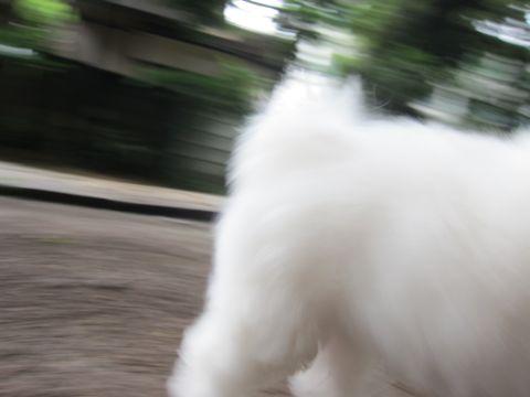 ビションフリーゼフントヒュッテ東京かわいいビション子犬関東こいぬ文京区ビションフリーゼ画像ビションフリーゼおんなのこメス子犬生まれてる都内Bichon Frise 568.jpg
